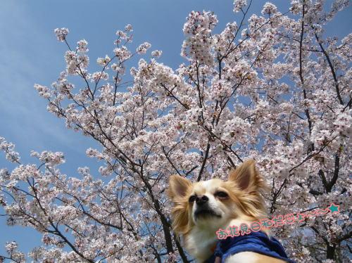 09-04 桜満開 1