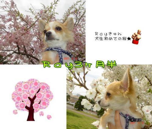 09-04 桜満開 2