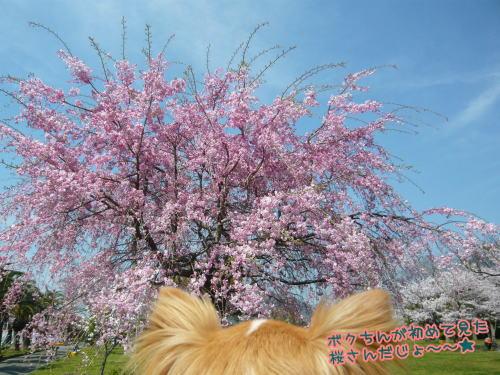09-04 桜満開 3