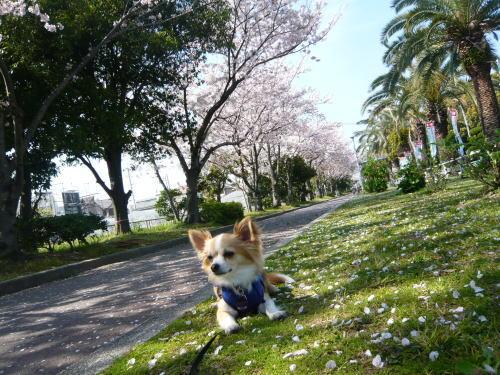 09-04 桜満開 4