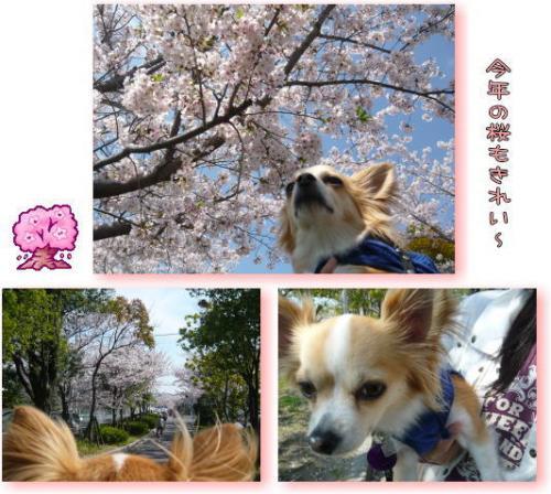 09-04 桜満開 5