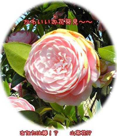 09-04 椿? 山茶花?
