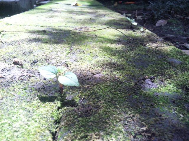 根性で発育する葉っぱ