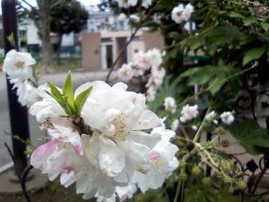 落合公園のプチ桜