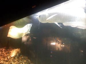 水族館という名前のライブハウスの水族アロワナ