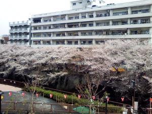 歯医者さんのビルから望む目黒川の桜