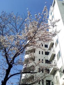 こんにゃくえんまさまの境内の桜