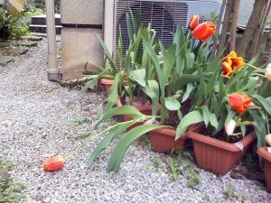 4月24日のしょげたチューリップ