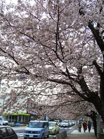 長瀞駅から宝登山へ向かう参道は、桜並木が続く大通り。ソメイヨシノが道にせり出すように咲き誇ってました。このほか、野土山の桜も見事のひと言!