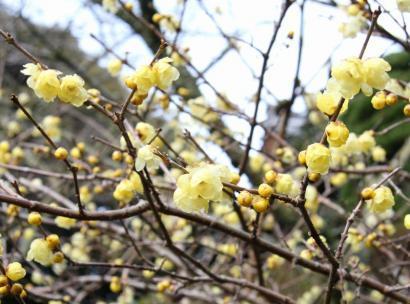 洞慶院のロウバイの花-3
