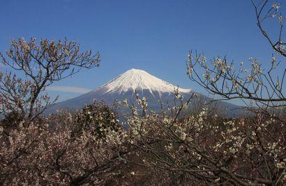 岩本山梅・富士山-1