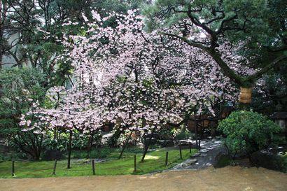 浮月桜-4