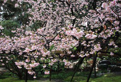 浮月桜-5