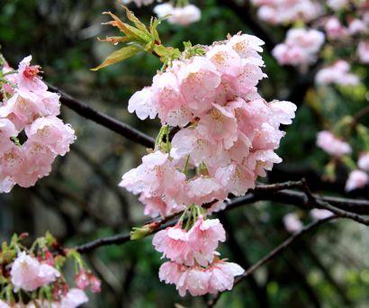 浮月桜-6