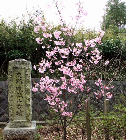 賤機山古墳の桜-1