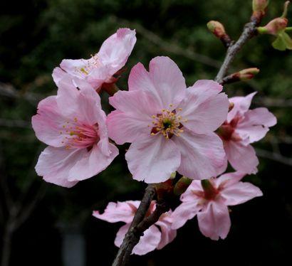 賤機山古墳の桜-2
