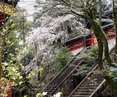 浅間神社の桜-2
