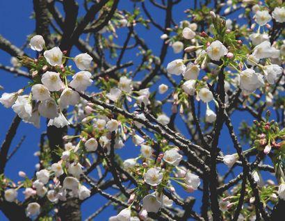 浅間神社の桜-3
