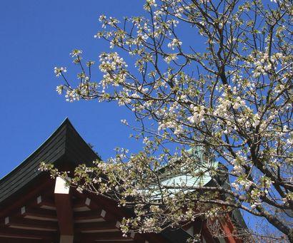 浅間神社の桜-4