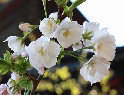 浅間神社の桜-7