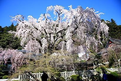 久遠寺の桜-2