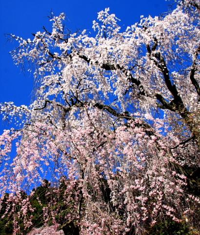 久遠寺の桜-4