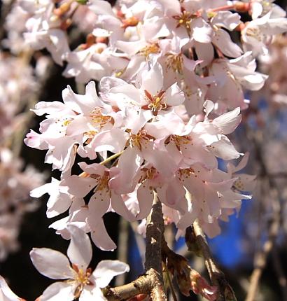 久遠寺の桜-5