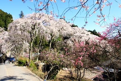 久遠寺の桜-6