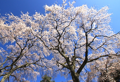 久遠寺の桜-7