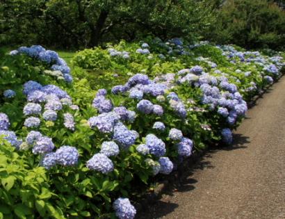 岩本山公園紫陽花2