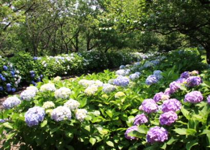 岩本山公園紫陽花3