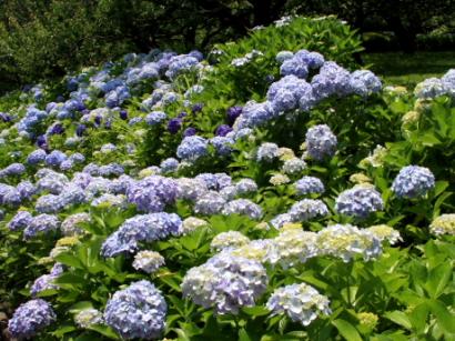 岩本山公園紫陽花4