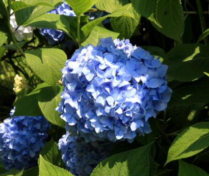 岩本山公園紫陽花6