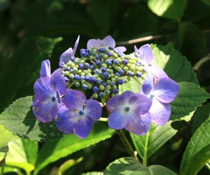 紫陽花寺-8