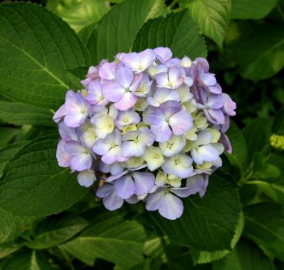 紫陽花寺-10