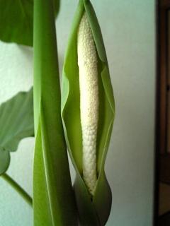 クワズイモの花