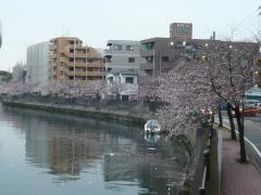 0405ookawasakura1.jpg