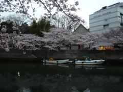0405ookawasakura3.jpg