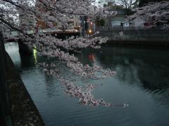 0405ookawasakura4.jpg