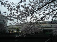 0405ookawasakura5.jpg