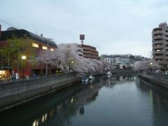 0405ookawasakura6.jpg