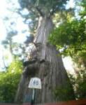 樹齢600年だったか700年だったか。。(苦笑)