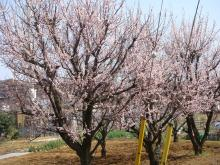 近所の春1