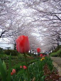 桜&チューリップ2