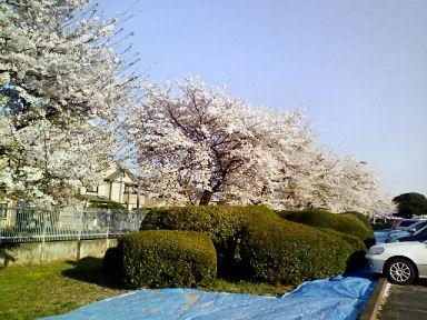 090409-sakura.jpg