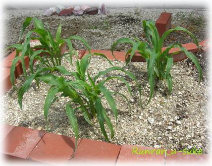 corn100520.jpg