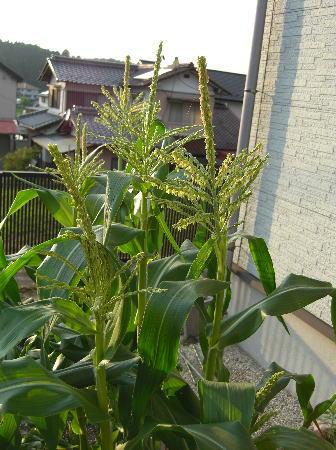corn100622.jpg