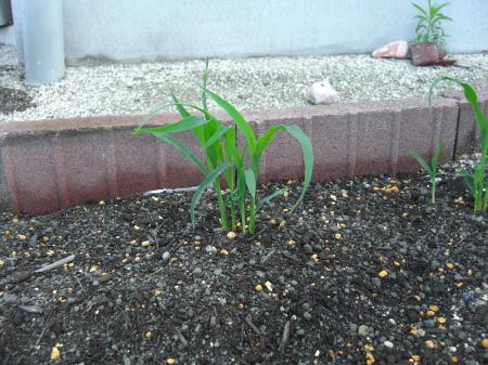 corn100622b.jpg