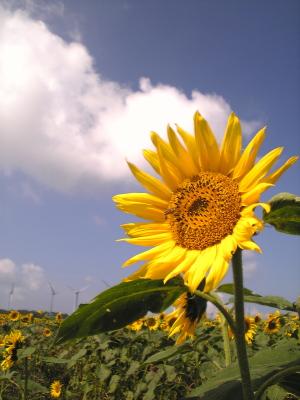 風車とひまわり畑@郡山布引風の高原