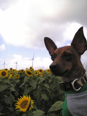 アクア、風車とひまわり畑@郡山布引風の高原
